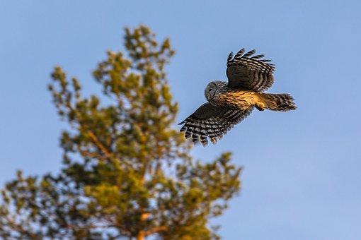 Ural Owl, Strix Uralensis, Bird, Nature