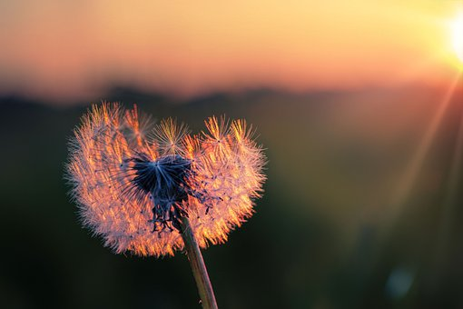 Dandelion, Seeds, Nature, Close Up, Flower, Plant