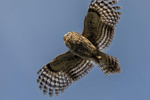 Ural Owl, Strix Uralensis, Bird, Nature, Wildlife