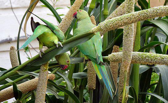 Bird, Parakeet, Green, Feeding, Millets, Tropical