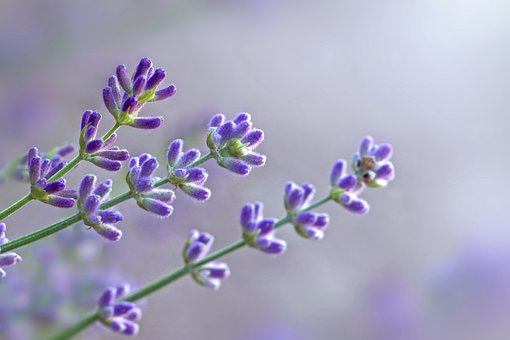 Lavender, Flowers, Violet, Blue, Flora, Summer, Perfume