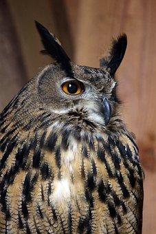 Eagle Owl, Bubo, Owl, Bird, Feather, Bird Of Prey