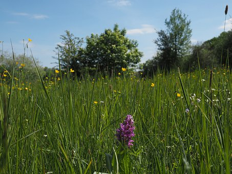 Wild Flower Meadow, Wild, Orchid, Calico, Wild Flowers