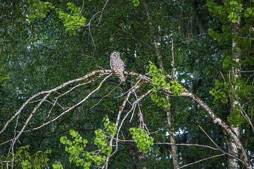 Ural Owl, Strix Uralensis, Bird, Nature, Wildlife