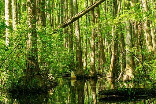 Cypress Swamp, Sunbeams, Cypress Trees, Millpond