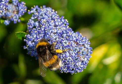 Bumble Bee On Flower, Pollen On Bee, Bee On Flower