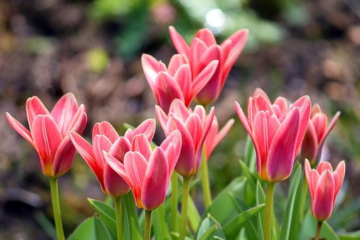 Tulips, Striped, Red, Tulip Field, Flowers, Spring