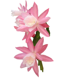 Flower Pink Orchid Cactus, Plant, Greeting Card