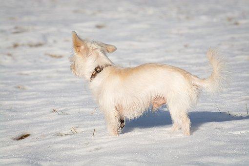 Dog, Maltese, Snow, Winter, White, Animal, Pet