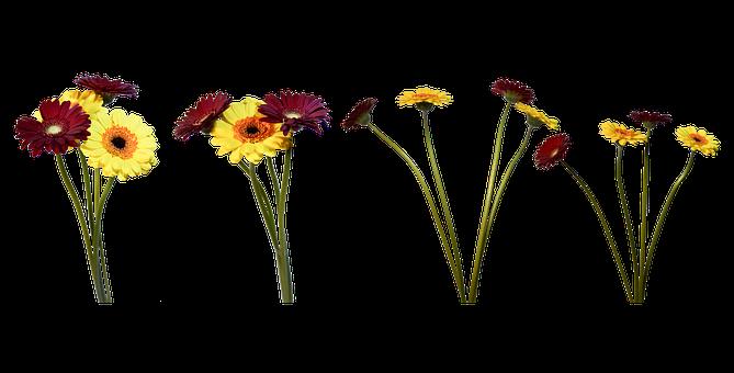 Gerbera, Flowers, Natural, Petal, Plant, Spring, Flora