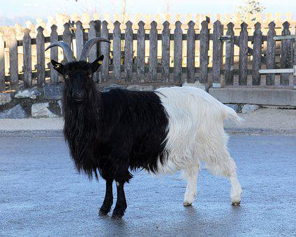 Goat, Paarhufer, Horned, Animal, Bock, Ruminant