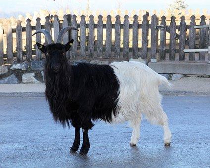 Goat, Paarhufer, Horned, Animal, Bock