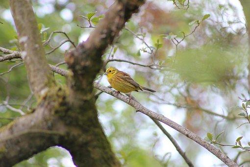 Bird, Yellowhammer, Yellow Bunting, Feather, Beak