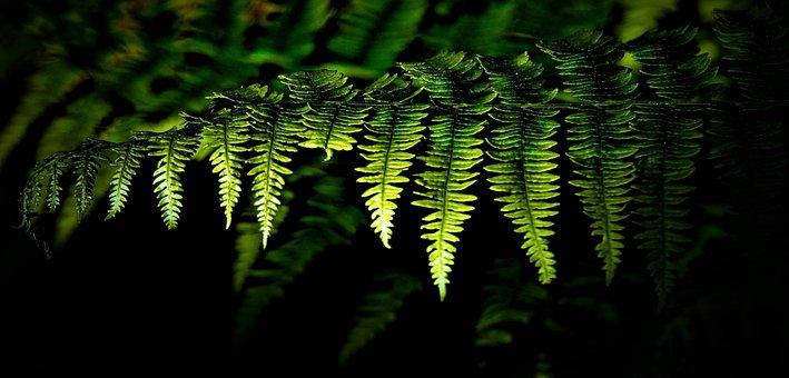 Fern, Fern Plant, Green, Black Background, Fiddlehead