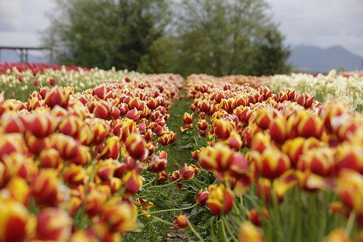 Tulips, Orange, Red, Sky, Field, Flowers, Spring