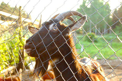 Goat, The Goat Behind The Fence, Rye, Krupnyj Plan
