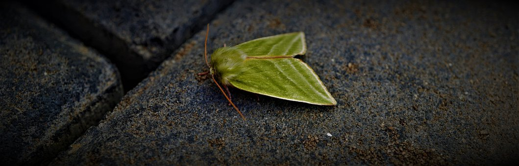 Green Moth, Green Silver-lines Moth, Insect, Wing