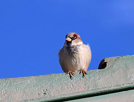 Bird, Sparrow, Wildlife, Roof, Perched
