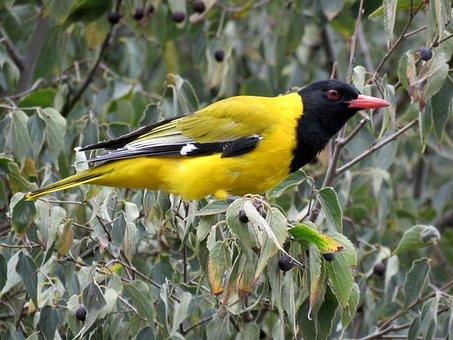 Bird, Oriole, Golden Oriole, Avian, Yellow Bird