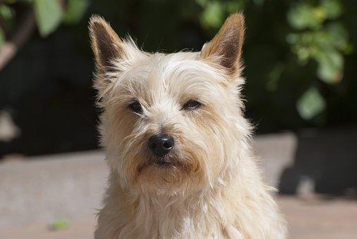 Cairn Terrier, Scottish, Animal, Dog