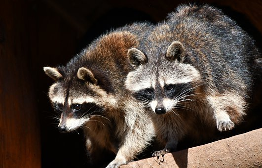 Raccoons, Zoo, Nature, Animal World