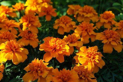 Barhotki, Flowers, Spring, Petals