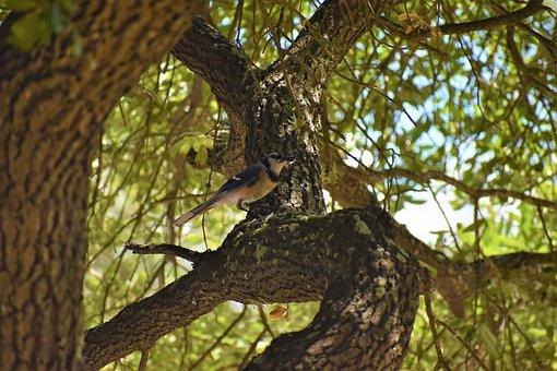 Blue Jay, Bird, Songbird, Animal, Wildlife, Blue-black