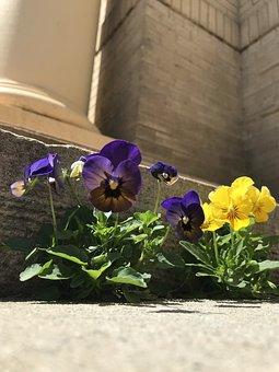 Flowers, Pansies, Spring, Blossom, Urban, Blooming