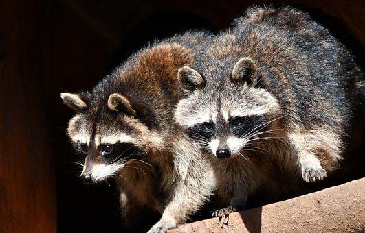 Raccoons, Zoo, Nature, Animal World, Furry, Cute