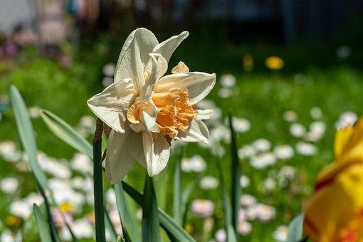 Narcissus, Flower, Spring, Petals