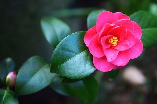 Japanese Camellia, Camellia, Camellia Flower, Flower