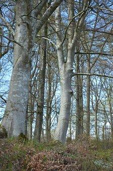 Beech Forest, Our Winter, Skåne, Nature
