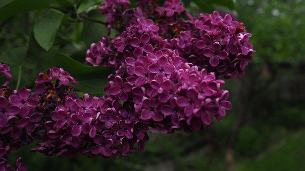 Lilac, Purple, Flowers, Plant, The Bushes, Odor, Summer