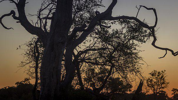 Botswana, Sunset, Tree, Africa