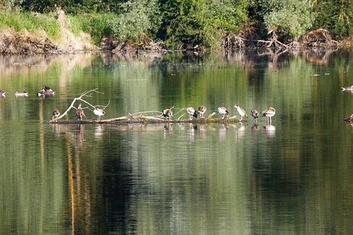 Water, Geese, Nature, Birds, Lake, Plumage, Family