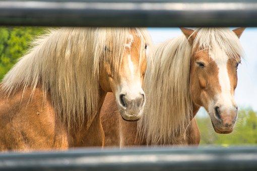 Horses, Paddock, Stallion, Pasture, Animal, Coupling