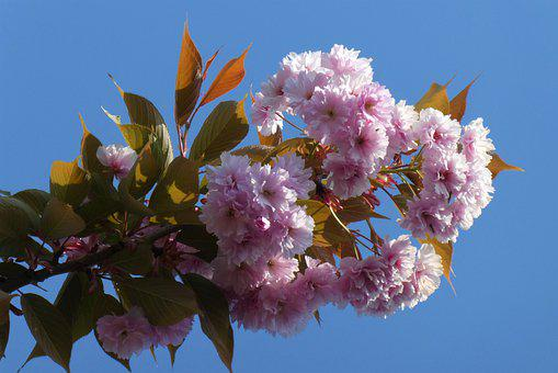 Blossom, Japanese Flowering Cherry, Flowers, Bloom