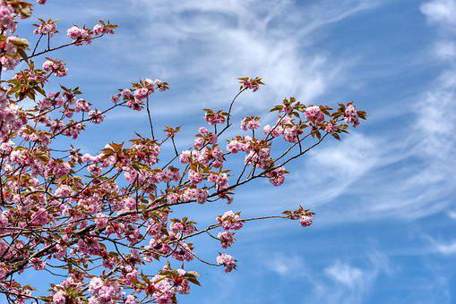 Prunus Serrulata, Japanese Flowering Cherry