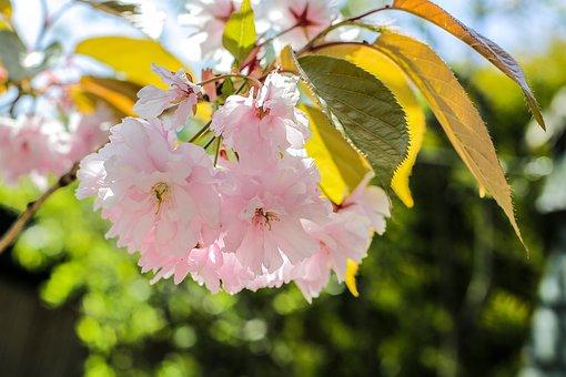 Prunus, Spring, Pink, Blossom, Cherry