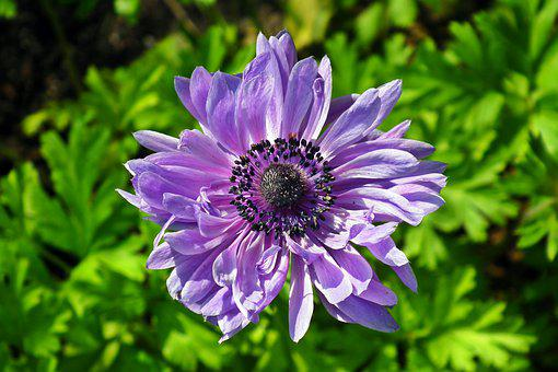 Anemone, Flowers, Blue, Spring, Garden, Plants, Macro
