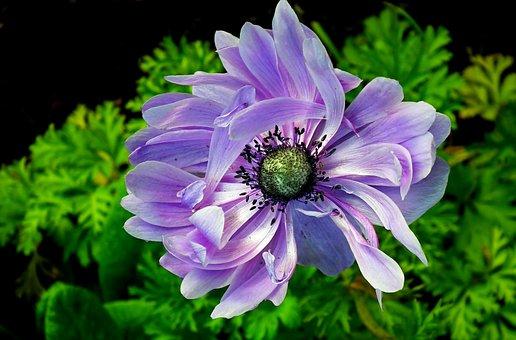 Anemone, Flower, Blue, Spring, Garden, Plant