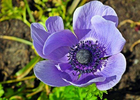 Anemone, Flower, Blue, Spring, Plant, Garden, Macro