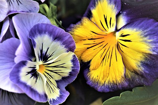 Pansies, Flowers, Nature, Colorful, The Petals, Closeup