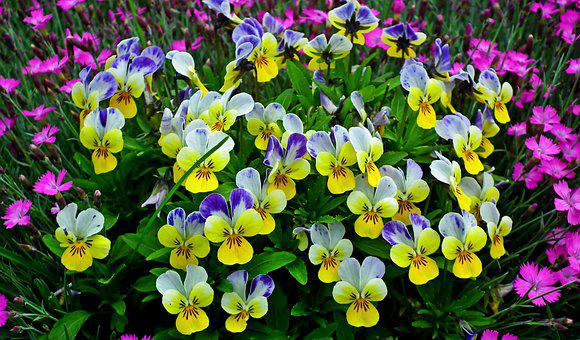 Pansies, Colorful, Garden, Spring, Nature, The Petals