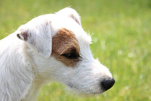 Parson Russell Terrier, Dog, Animal Portrait