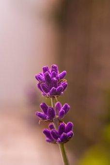 Lavender, Bloom, Flower, Garden, Plant, Flora, Purple