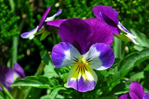 Pansies, Flowers, Spring, Garden, Nature, Flourishing
