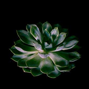 Plant, Agave, Green, Black, Nature, Flora, Leaf, Botany