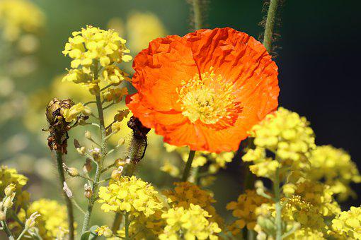 Poppy, Stone Herb, Yellow, Orange