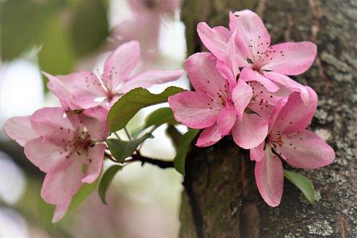 Apple, Tree, Flowering, Flowers, The Petals, Sprig